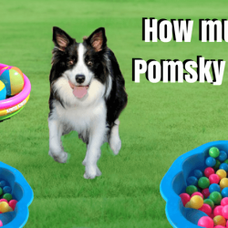 How much are Pomsky Puppies
