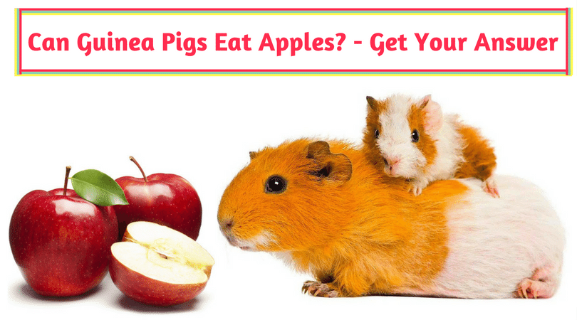 Photo of Can Guinea Pigs Eat Apples? – Get Your Answer Here