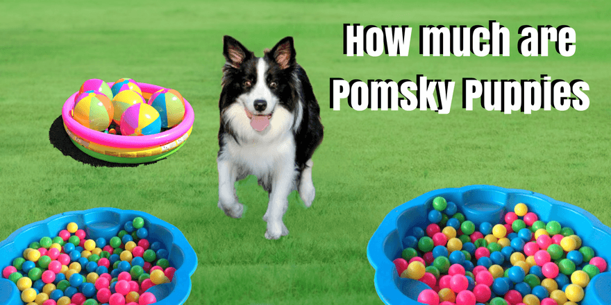 Photo of How much Are Pomsky Puppies?- Know About all Before Buy